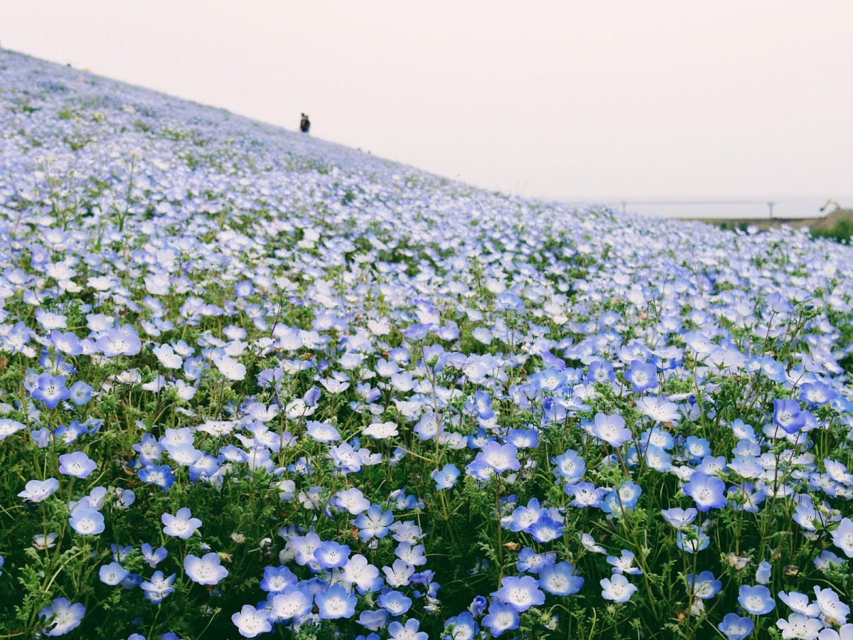 The Hitachi Seaside Park in Ibaraki